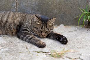 コンクリートの上で眠るキジトラの写真素材 [FYI02665887]
