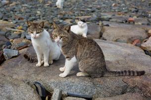 海岸のキジ白猫の写真素材 [FYI02665913]