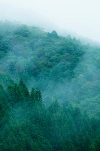 朝霧のたちこめる飛騨杉の樹林の写真素材 [FYI02665933]