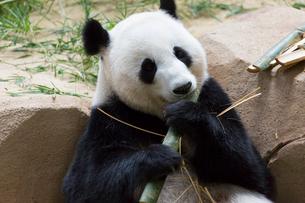 パンダの写真素材 [FYI02665941]