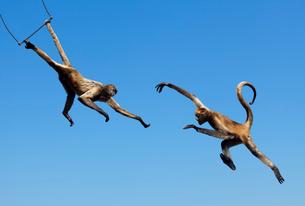 サルの空中ブランコの写真素材 [FYI02666024]