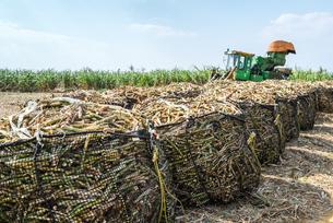 並べられた袋詰めサトウキビと収穫機を見るサトウキビ畑の写真素材 [FYI02666044]