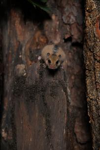 木に登るヤマネの写真素材 [FYI02666101]