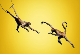 サルの空中ブランコの写真素材 [FYI02666104]