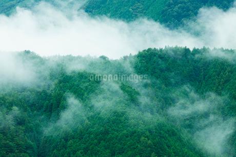 朝霧のたちこめる飛騨杉の樹林の写真素材 [FYI02666175]