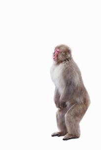 二本足で直立するニホンザルの写真素材 [FYI02666181]