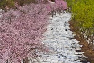 桜と新緑と残雪の写真素材 [FYI02666328]