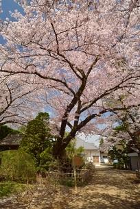 清水公園金乗院の劫初の桜の写真素材 [FYI02666390]