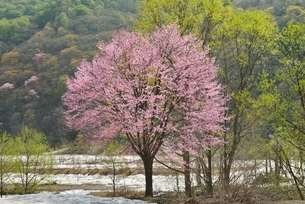 桜と新緑と残雪の写真素材 [FYI02666410]