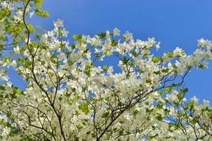 ゴヨウツツジの花の写真素材 [FYI02666530]