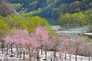 桜と新緑と残雪の写真素材 [FYI02666569]