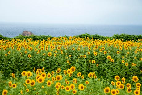 佐渡島 おがわのヒマワリ畑と日本海の写真素材 [FYI02666610]