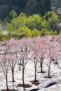 桜と新緑と残雪の写真素材 [FYI02666732]