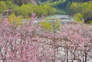 桜と新緑と残雪の写真素材 [FYI02666755]