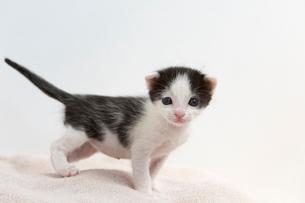 生後2週間の子猫の写真素材 [FYI02666879]