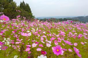砺波,夢の平コスモス畑の写真素材 [FYI02666881]