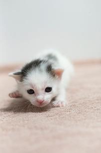 生後2週間の子猫の写真素材 [FYI02666882]
