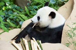 パンダの写真素材 [FYI02666904]
