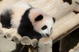 パンダの写真素材 [FYI02666922]