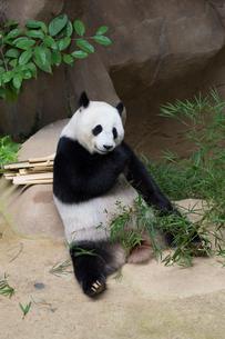 パンダの写真素材 [FYI02666930]