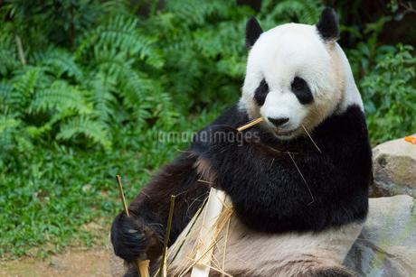 パンダの写真素材 [FYI02666954]