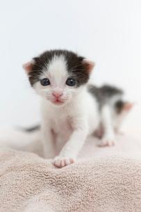 生後2週間の子猫の写真素材 [FYI02666956]