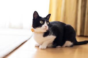 飼い猫の写真素材 [FYI02666992]