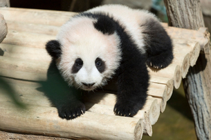 パンダの写真素材 [FYI02667027]