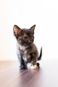 サビの仔猫の写真素材 [FYI02667079]