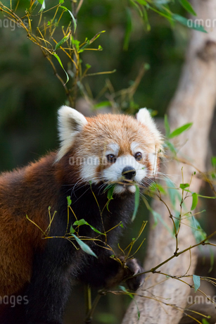 草を食べるレッサーパンダの写真素材 [FYI02667084]