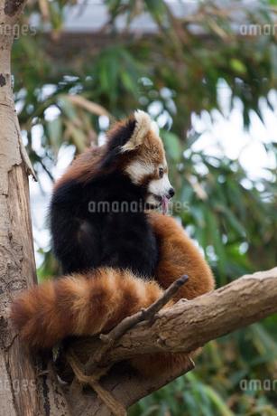 木に登ったレッサーパンダの写真素材 [FYI02667123]