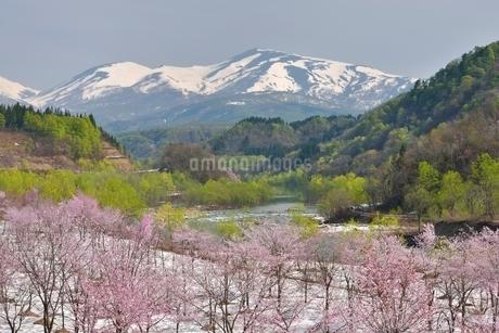 桜と残雪の月山の写真素材 [FYI02667124]