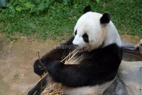 パンダの写真素材 [FYI02667125]