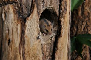 木の巣穴から顔を出すヤマネの写真素材 [FYI02667142]