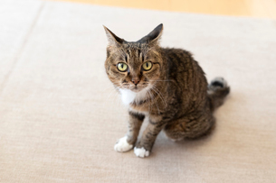 飼い猫の写真素材 [FYI02667149]