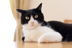 飼い猫の写真素材 [FYI02667174]