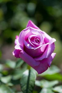 バラ・シャルル・ドゥ・ゴールの写真素材 [FYI02667182]