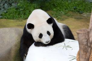 パンダの写真素材 [FYI02667195]