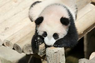 パンダの写真素材 [FYI02667221]