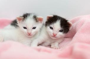 生後2週間の子猫の写真素材 [FYI02667278]
