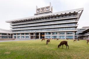 奈良県庁にあつまる鹿の写真素材 [FYI02667283]
