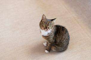 飼い猫の写真素材 [FYI02667317]