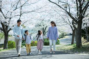 手をつなぎ桜の木の下を歩く幸せな家族の写真素材 [FYI02667559]