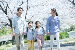 手をつなぎ桜並木を歩く幸せな家族の写真素材 [FYI02667602]