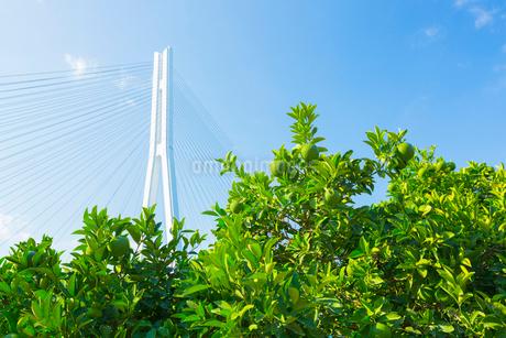 広島県産レモンの畑の写真素材 [FYI02667712]