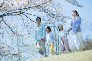 手をつなぎ桜の木の下を歩く幸せな家族の写真素材 [FYI02667736]
