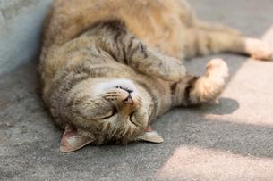 横たわる猫の写真素材 [FYI02667967]