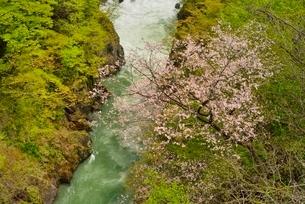 桜と新緑の渓流の写真素材 [FYI02667989]