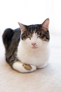 飼い猫の写真素材 [FYI02668089]