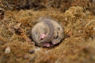 寝るヤマネの写真素材 [FYI02668143]